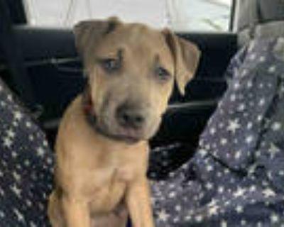 Adopt BROWNIE a Tan/Yellow/Fawn Labrador Retriever / Mixed dog in Atlanta