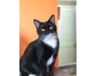 Adopt Reeces a All Black Domestic Mediumhair / Domestic Shorthair / Mixed cat in