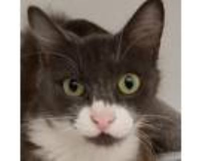 Adopt Helen a Gray or Blue Domestic Shorthair / Mixed cat in Folsom