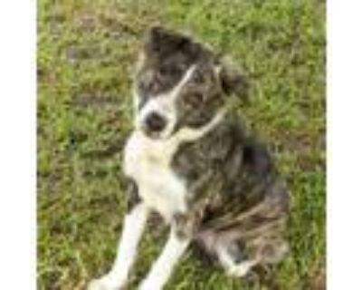 Adopt Bonnie (July) a Australian Shepherd, Labrador Retriever