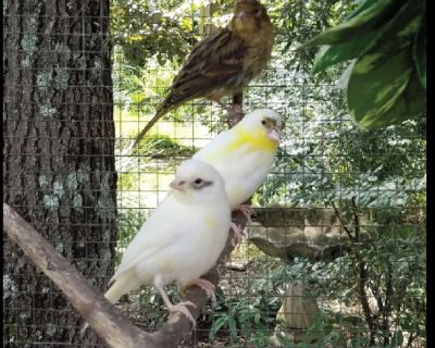 Exotic Finches, Canaries, and Parakeets