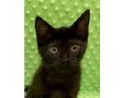 Adopt Montel Williams a Domestic Short Hair