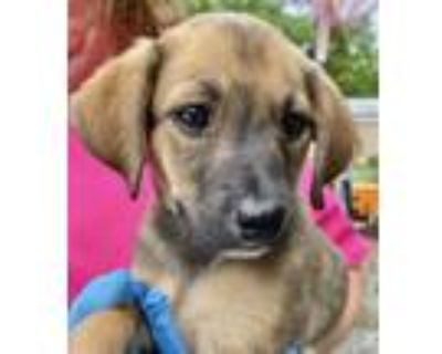 Adopt Chess Girl - Game litter of 8 a Hound (Unknown Type) / Labrador Retriever