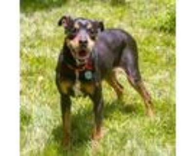 Adopt Gertie a Rottweiler, Boxer