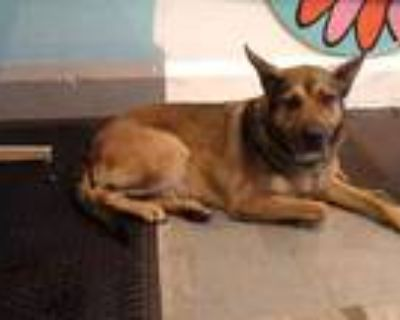 Adopt TOOTY a Brown/Chocolate - with Black German Shepherd Dog / Mixed dog in