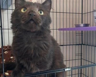Female Domestic Short Hair named Reanie available for adoption