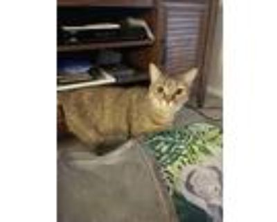 Adopt Snicker a Brown or Chocolate Domestic Shorthair (short coat) cat in