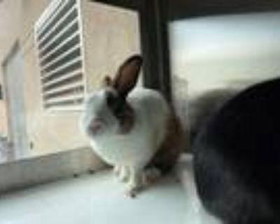 Adopt HIP a Bunny Rabbit