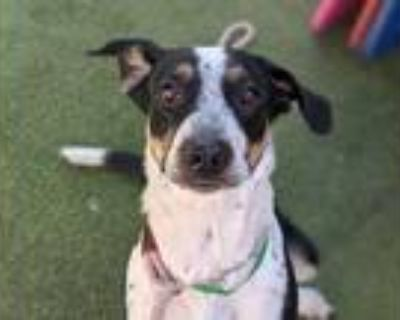 Adopt CALLIE a Black - with White Border Collie / Mixed dog in Mesa