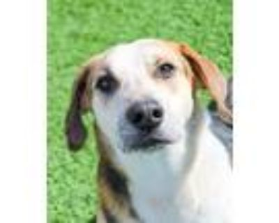 Adopt Gomer a Tricolor (Tan/Brown & Black & White) Hound (Unknown Type) / Mixed