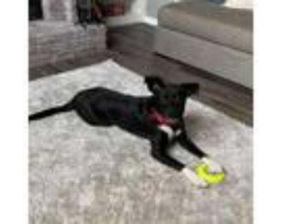 Adopt Camry a Black Labrador Retriever / Mixed dog in Mission, KS (31685346)