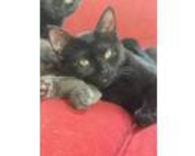 Adopt Tiny (Tow kittens) a Domestic Short Hair