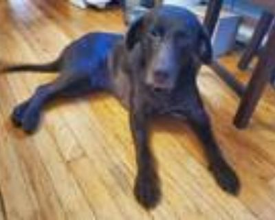 Adopt Rocky a Brown/Chocolate Labrador Retriever / Mixed Breed (Large) / Mixed