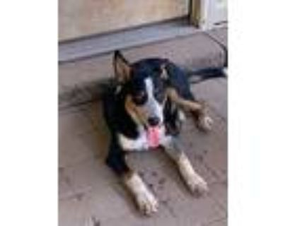 Adopt Ealy Road Cisco a Australian Cattle Dog / Mixed dog in Chantilly