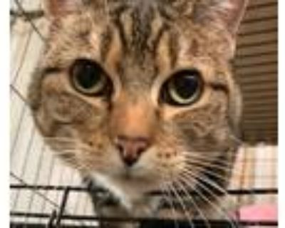 Adopt Miss Kitty a Brown or Chocolate (Mostly) Domestic Shorthair / Mixed (short