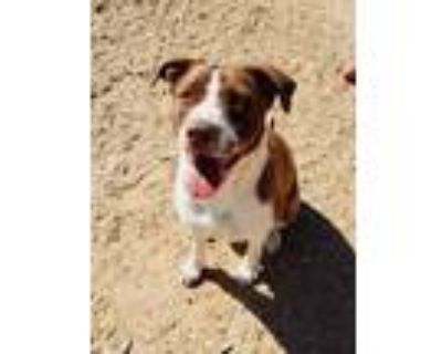 Adopt COCO a Brindle - with White American Pit Bull Terrier / Labrador Retriever