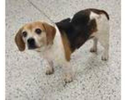 Adopt Oreo a White Beagle / Mixed dog in Kansas City, MO (31622403)