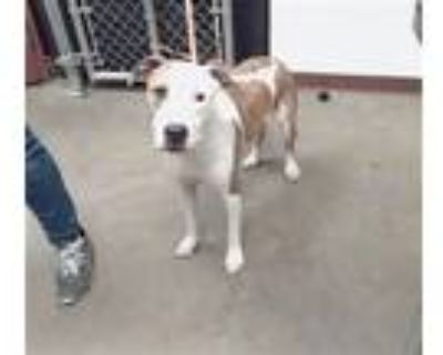 Adopt CHRISSY a Pit Bull Terrier