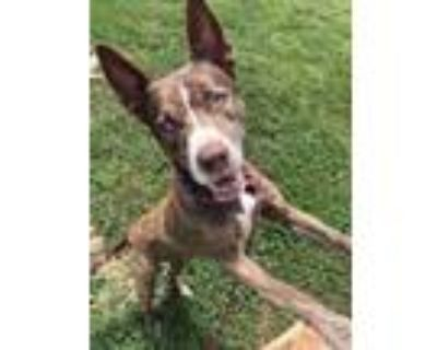Adopt Sierra a Brown/Chocolate American Pit Bull Terrier / Mixed dog in Shelby
