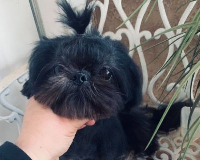 Imperial and Small Standard Shihtzu Puppies  Waiting List