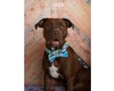Adopt Canyon a Brown/Chocolate Labrador Retriever dog in Littleton