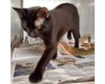Adopt Jefferson a All Black Domestic Shorthair / Mixed cat in Northbrook