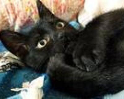 Jellybean, Domestic Shorthair For Adoption In Mansfield, Texas