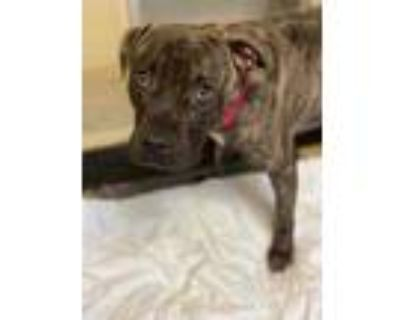 Adopt Ace a Black American Pit Bull Terrier / Mixed dog in Newport News
