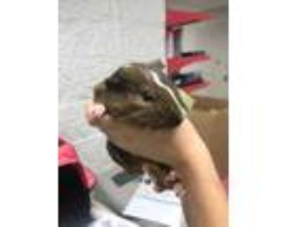 Adopt 47965775 a Brown or Chocolate Guinea Pig / Mixed (short coat) small animal