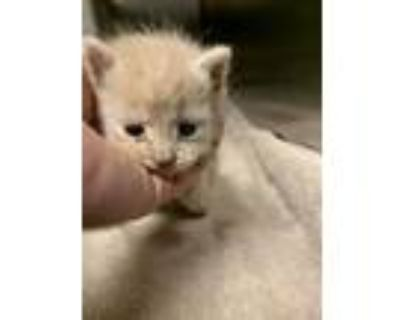 Adopt Ritz* a Cream or Ivory Domestic Shorthair / Domestic Shorthair / Mixed cat
