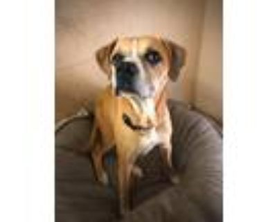 Adopt Lexie a Red/Golden/Orange/Chestnut - with White Boxer / Mixed dog in