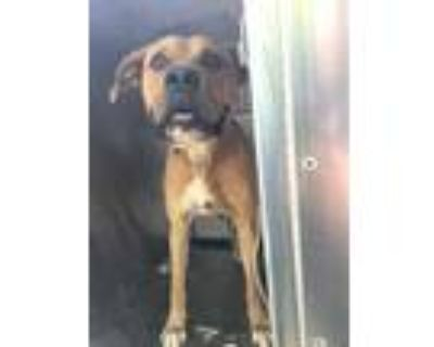 Adopt Malachi a Brown/Chocolate Boxer / Mixed dog in Fort Worth, TX (31495737)