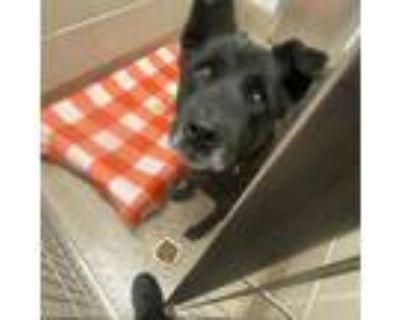 Adopt smokey a Black Labrador Retriever / Mixed Breed (Medium) / Mixed dog in
