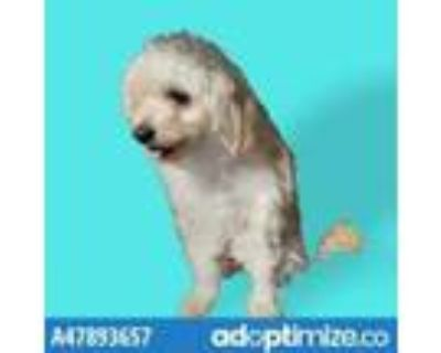 Adopt 47893657 a White Miniature Poodle / Mixed dog in El Paso, TX (31455332)