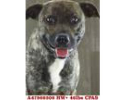 Adopt Bengal a Brindle American Pit Bull Terrier / Mixed dog in Shreveport