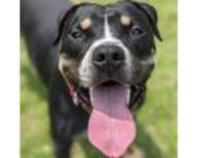 Adopt Natty a Black Rottweiler / Mixed dog in Norfolk, VA (31822211)