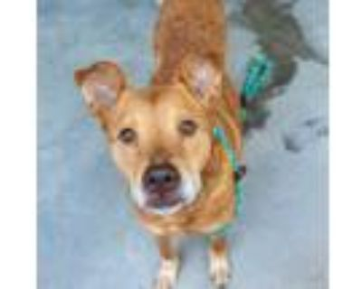 Adopt Willy a Red/Golden/Orange/Chestnut Mixed Breed (Large) / Mixed dog in