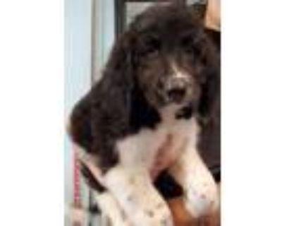 Adopt Stoney a Poodle, English Springer Spaniel