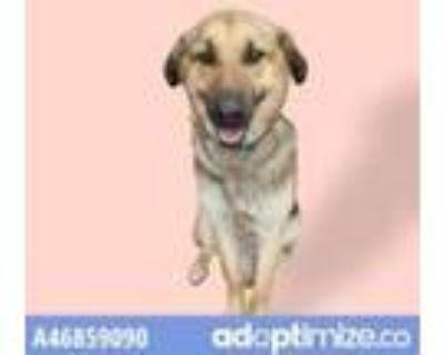 Adopt 46859090 a Black German Shepherd Dog / Mixed dog in El Paso, TX (30984963)
