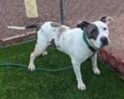 Adopt MUCCA a Pit Bull Terrier