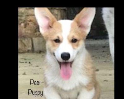 Pembroke Welsh Corgi Puppies Availble