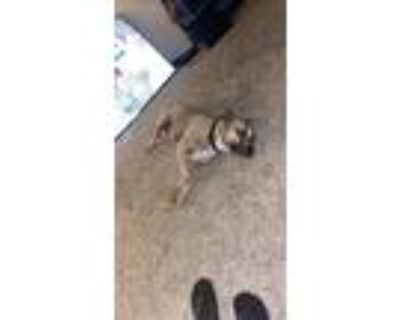 Adopt T.K. a Tan/Yellow/Fawn - with White Boxer / Beagle / Mixed dog in