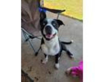 Adopt Louie a Black - with White American Pit Bull Terrier / Husky / Mixed dog
