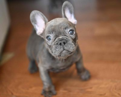 Blue French Bulldog Puppies available now $3800