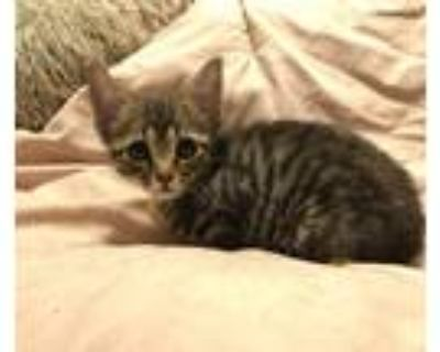 Adopt Cuddles a Gray, Blue or Silver Tabby Domestic Mediumhair / Mixed cat in