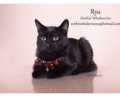 Adopt RYU a All Black Bombay (short coat) cat in HEMET, CA (31149494)