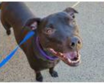 Adopt BOWSER a Pit Bull Terrier, Mixed Breed