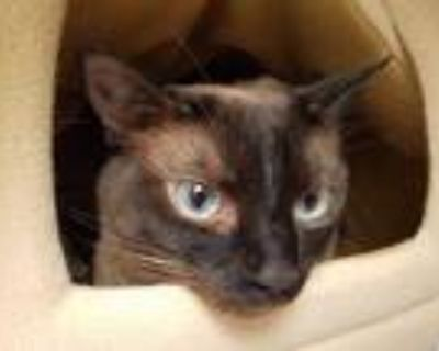Adopt MOCHI a Brown or Chocolate (Mostly) Siamese / Mixed (short coat) cat in