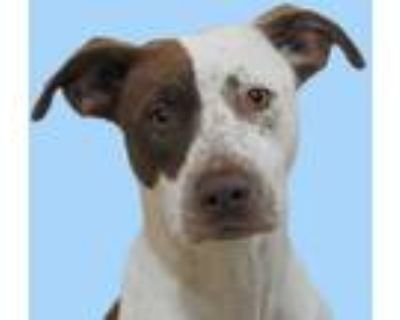 Adopt Gracie a Red/Golden/Orange/Chestnut American Pit Bull Terrier / Mixed dog
