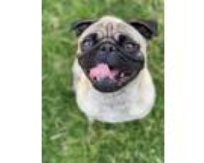 Adopt Pugsley a Tan/Yellow/Fawn - with Black Pug / Mixed dog in Whittier